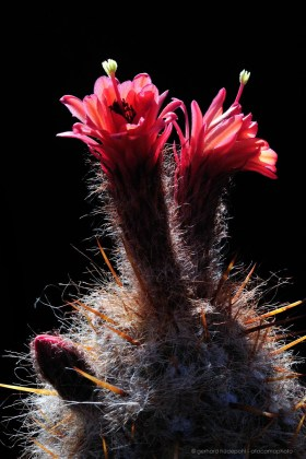 Red flowers of Old Man of The Andes cactus (Oreocereus leucotrichus) in full bloom