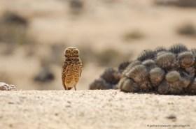 Burrowing Owl (Athene cunicularia) with Copiapoa cactus, Atacama desert