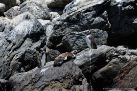 Humboldt Penguins at Reserva Nacional Pinguino Humboldt, Isla Choros