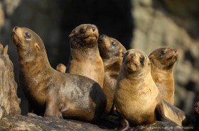 Young South American Fur Seals (Arctocephalus australis) at the coast of Atacama