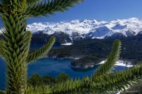 Araucaria tree and Sierra Nevada in winter, Conguillio National Park Chile