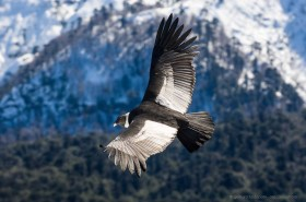 Andean Condor (Vultur gryphus) in flight over Conguillio National Park