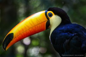 The beautiful Toco toucan (Ramphastos toco) is the largest toucan