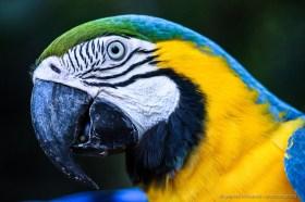 Blue-and-yellow macaw (Ara ararauna), Iguazu bird park