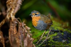 Chucao (Scelorchilus rubecula), a curious small bird of the Valdivian rainforest