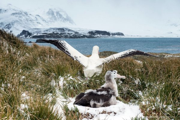 Adult Wandering Albatross taking off after feeding its chick at nest with snow and tussock, Prion Island, South Georgia Island
