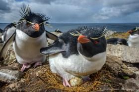 Closeup of Rockhopper penguins on their nest with eggs, Falkland Islands