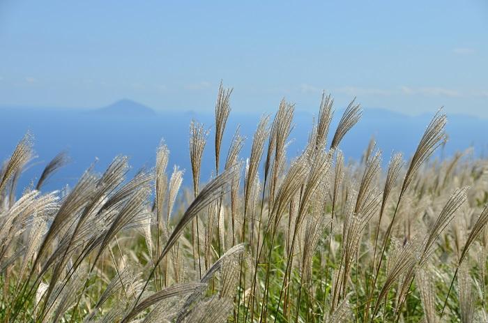 silver_grass