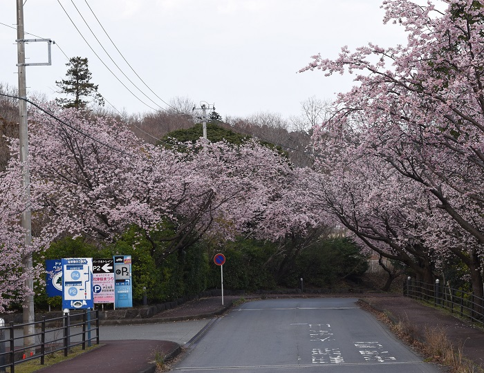 izukogen_ookanzakura_1