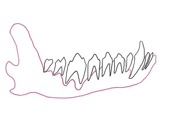犬の顎骨(吸収像)