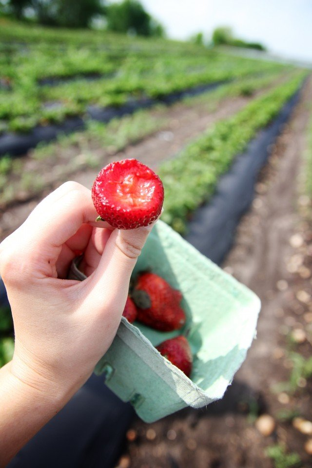 eating a freshly picked strawberry