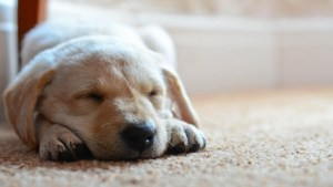 dog_puppy_snout_sleep_89809_1920x1080 (640x360)
