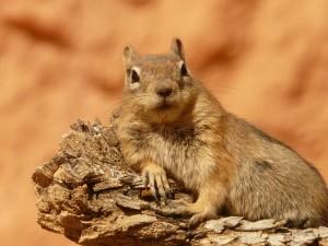 golden-mantled-ground-squirrel-4588_1920