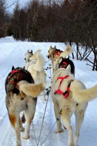 huskies-333625_1920 (533x800)