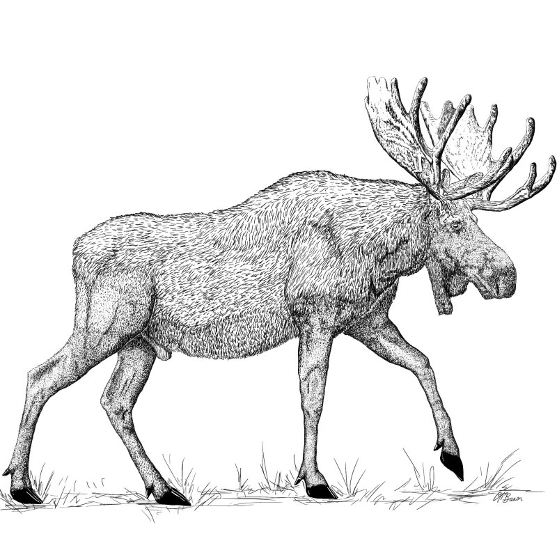 Bull Moose Pen & Ink