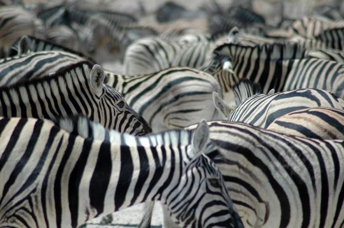 Zebra in Etosha Park on your Namibia Luxury Safari