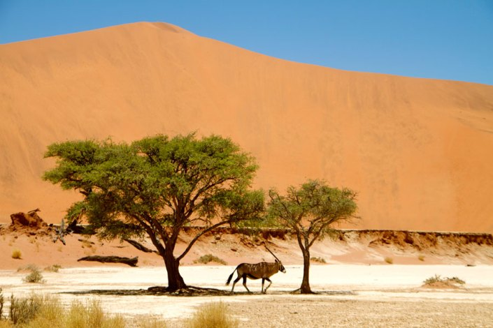 Oryx in the Shade at Sossusvlei in the Namib Desert