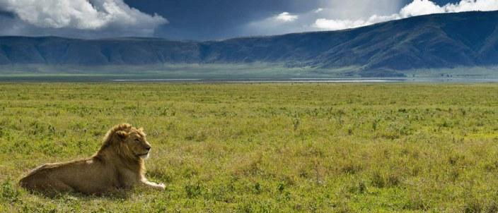 Lion in the Ngorongoro Crater - almost guaranteed during your Tanzania Luxury Safari