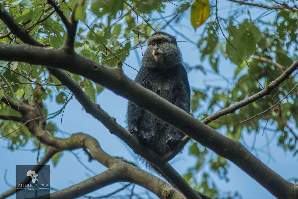 Congo Safari - Velvet Monkeys