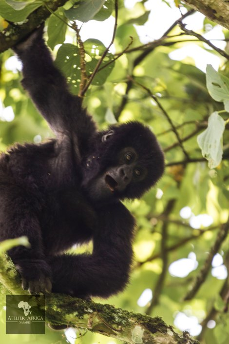 Congo Safari - Gorilla Baby