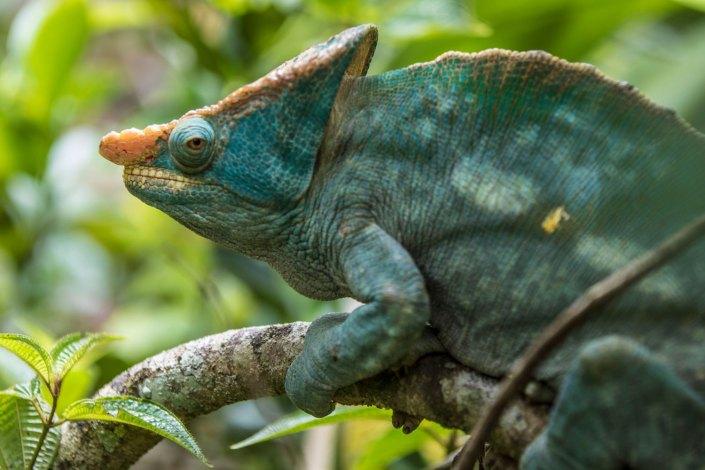 Madagascar_andasibe_cameleon_safari
