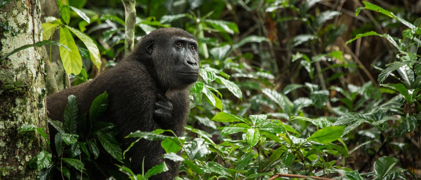 Gorilla Safari Republic Congo