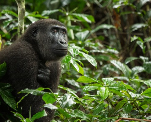 Gorilla Safari Republic Congo