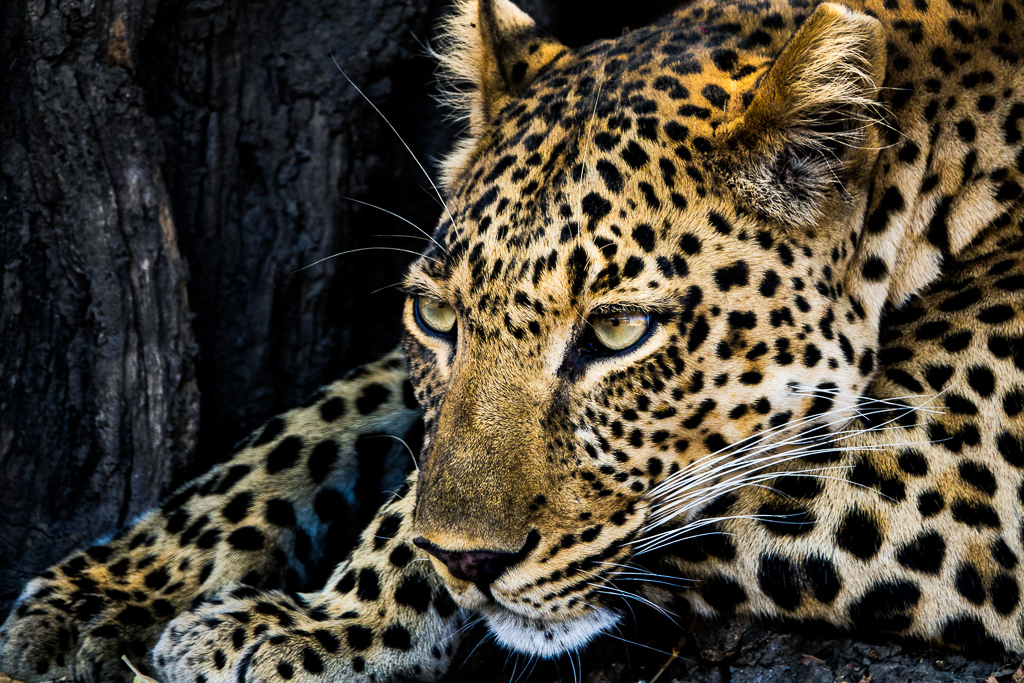 Zambia Safari Leopard