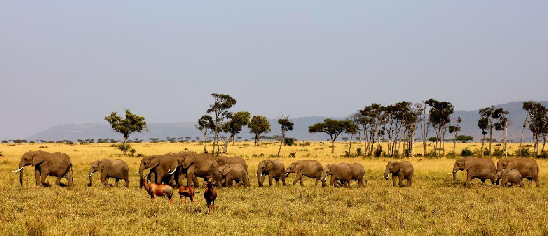Elephants of Maasai Mara