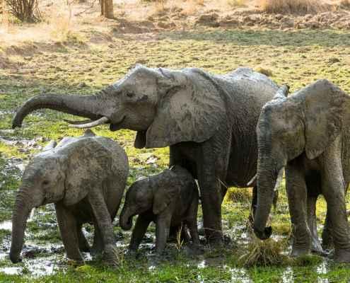 Reallocatie olifant in modder