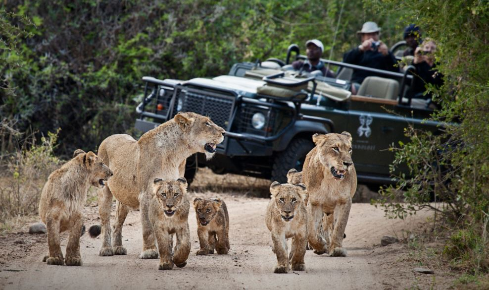 lionesses with youngesters