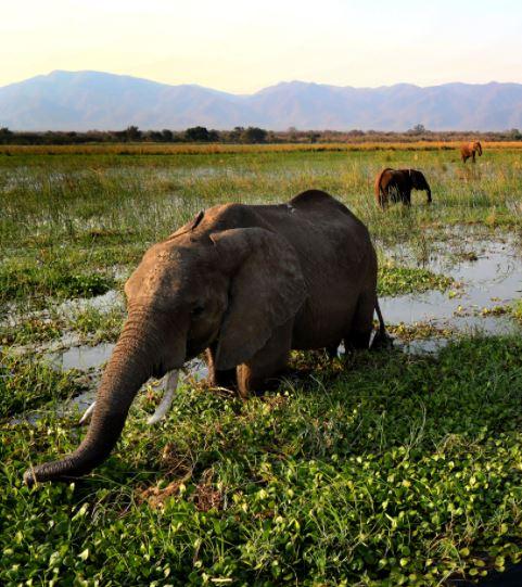 Zimbabwe olifant