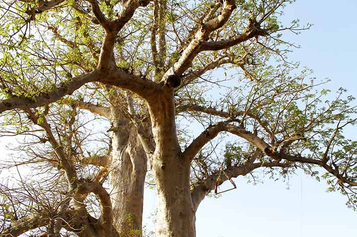 Trees Important In African Culture Atelier Fifty By Tapiwa Matsinde Baobab