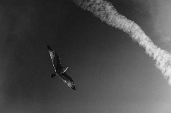 Möwe fliegt vor einem Kondensstreifen