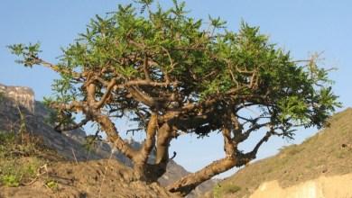 Photo of يقوم على ثلاثة محاور: مشروع بحثي لحفظ أشجار اللبان في السلطنة