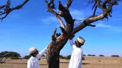"Photo of قام بها طلبة: دراسة تكشف نتائج عن شجرة "" الطلح"" وتوزيعها"
