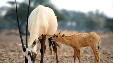 Photo of يُدشَّن غدًا: مشروع لإعادة حيوانات مهددة بالانقراض