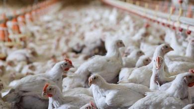 Photo of حظر استيراد الطيور الحية من ولاية أمريكية