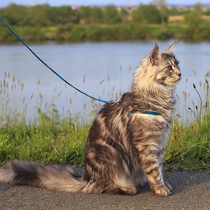 gatto guinzaglio