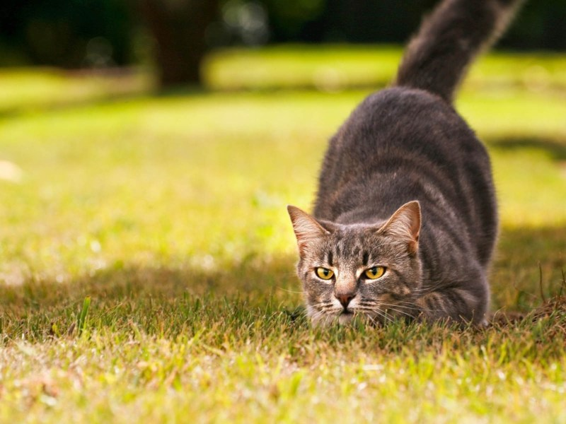 Gatto cacciatore