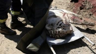 El desbordamiento del río Vere, que pasa junto el zoológico, mató a la mitad de los 600 animales del parque y dejó en libertad a muchos otros, entre ellos hipopótamos, leones y tigres