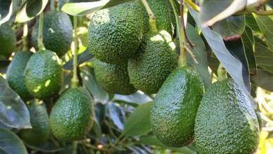 Michoacán es el único estado mexicano que puede exportar el fruto a más de 45 países del mundo