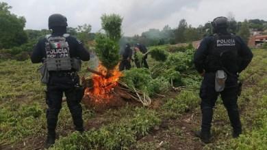 Policía Michoacán, marihuana
