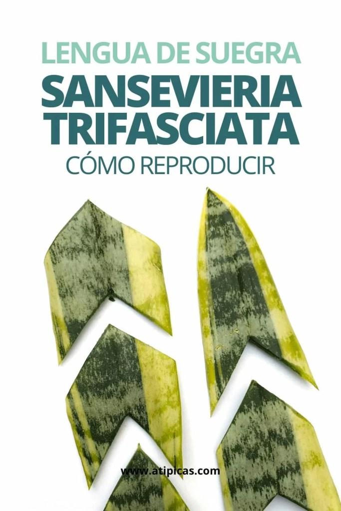 Cómo reproducir la Sansevieria trifasciata o Lengua de suegra