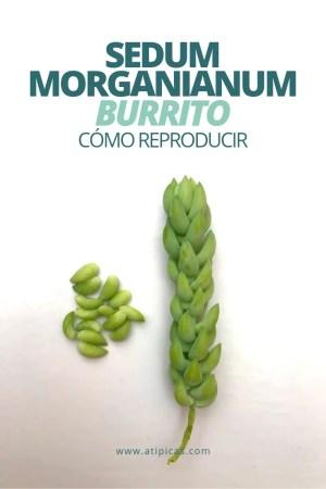 Cómo reproducir Sedum morganianum