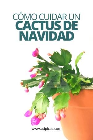 Cómo cuidar un Cactus de Navidad