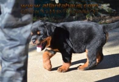 Vom Schutzlowen Blut Rottweiler Puppies For Sale From Years Past