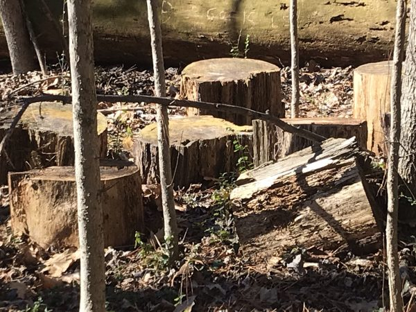 Woodland stumps at Murphey Candler Park nature trail.