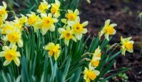 clump of yellow daffodils in a garden