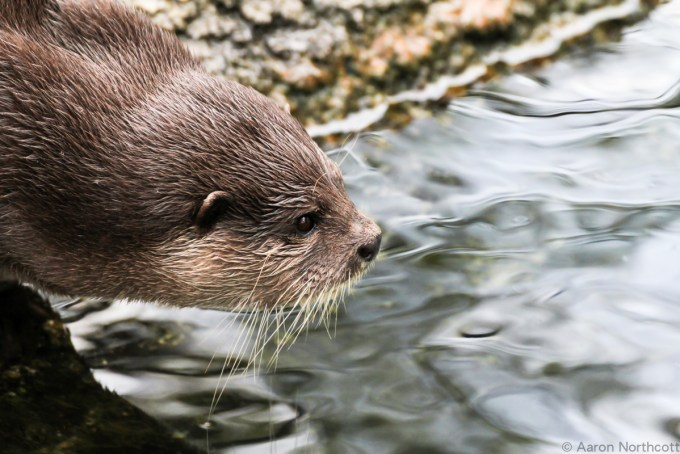 The Otter _ Aaron Northcott